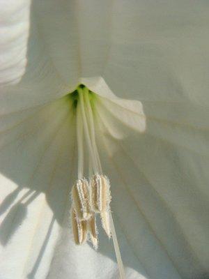 moonflower too