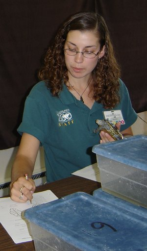 Measuring a terrapin raised at the zoo in preparation for release.